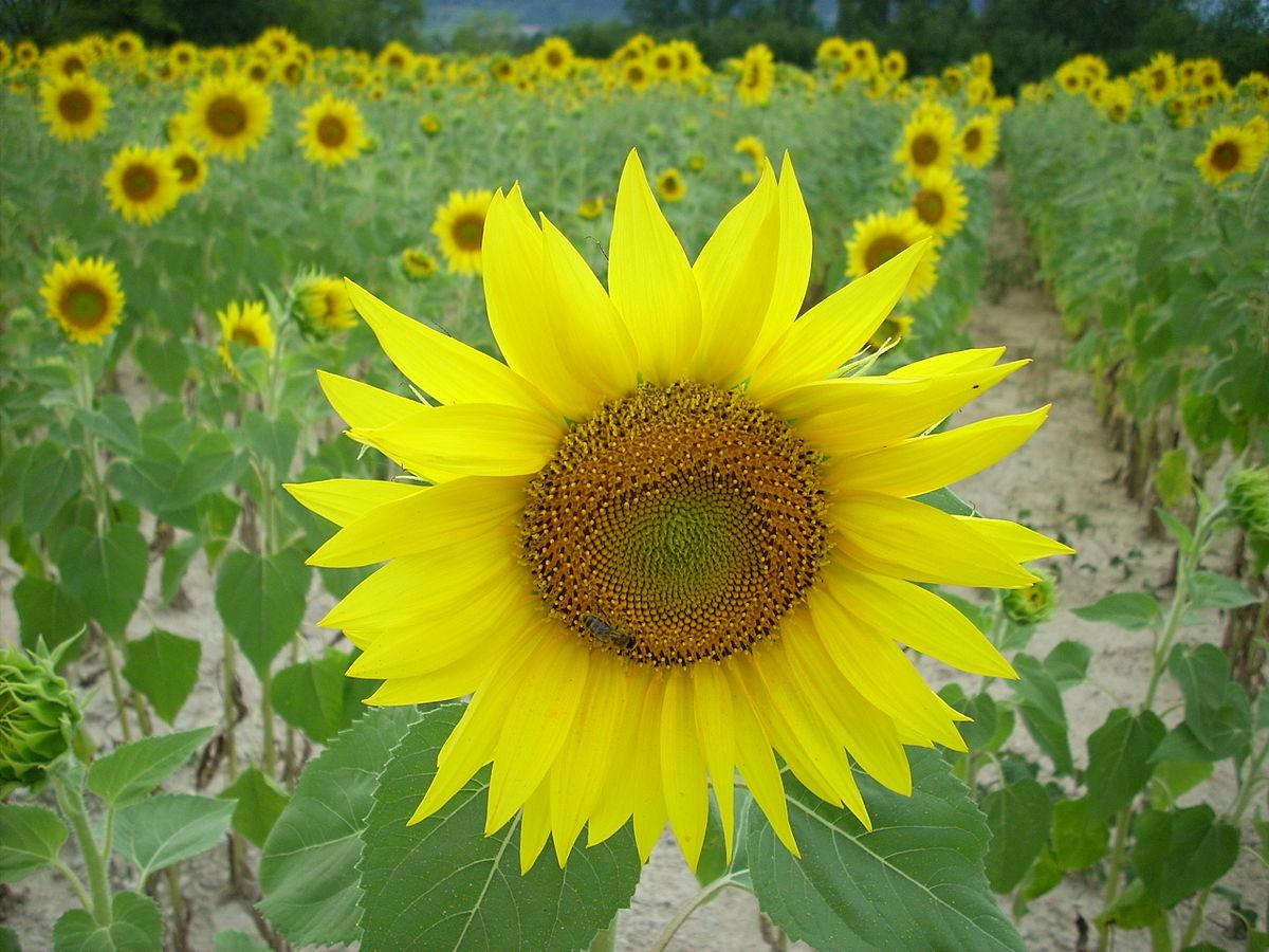 Photolove - Sunflower Center